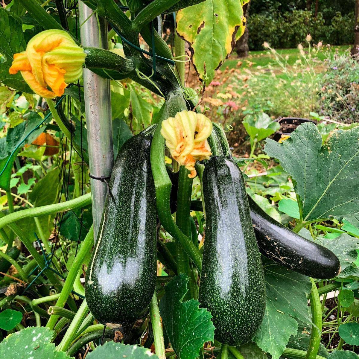 zucchinis in the garden