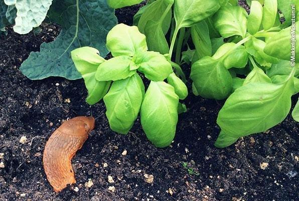 slug-in-the-lettuce.jpeg