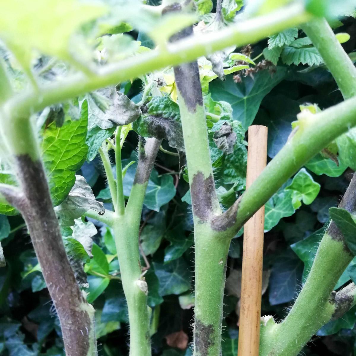 tomato-disease-action7.jpg