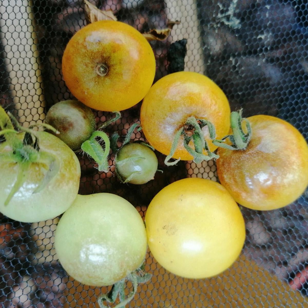 tomato-disease-action3.jpg