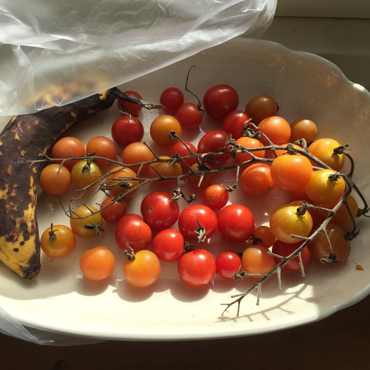 tomato-disease-action9.jpg