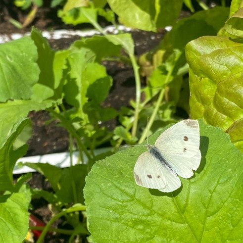cabbage-white.jpeg