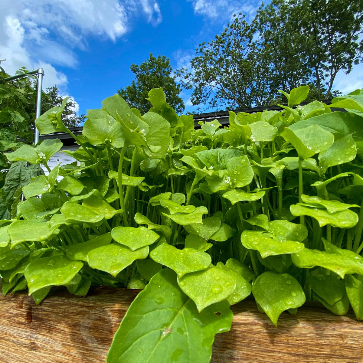 blog-early-august-in-the-vegetable-garden5.jpg