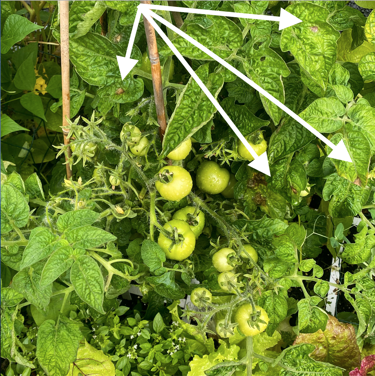 blog-early-august-in-the-vegetable-garden10.png