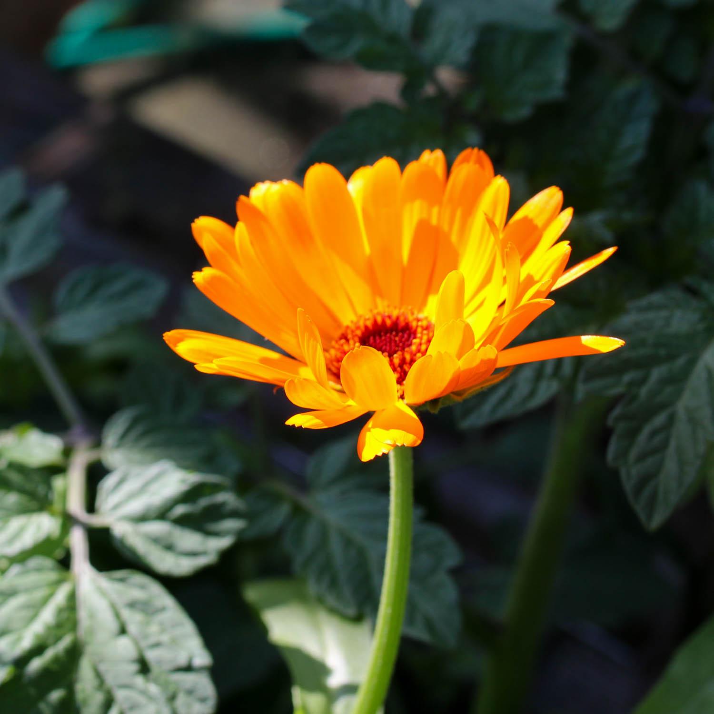 blog-early-august-in-the-vegetable-garden7.jpg