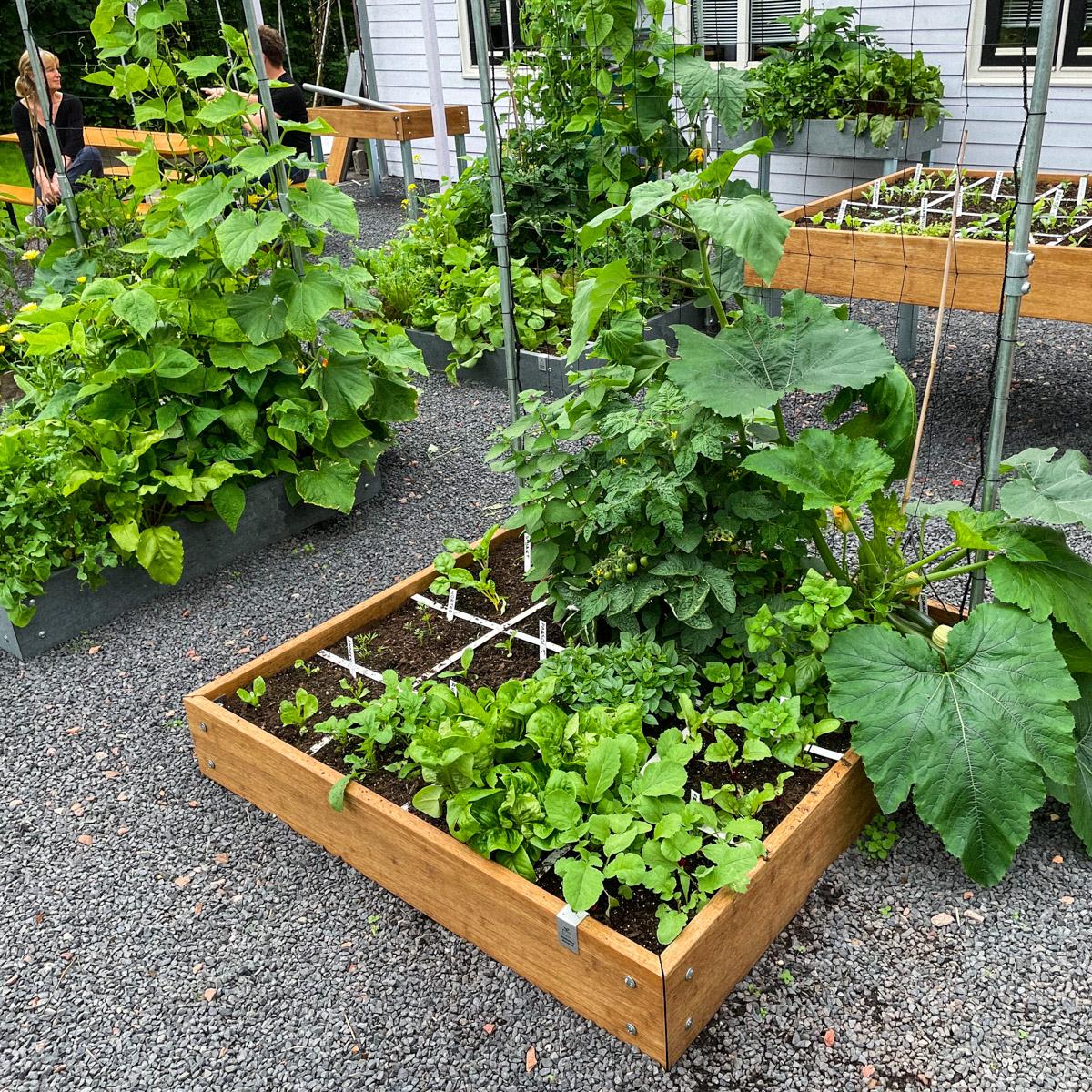 blog-mid-july-summer-veg4.jpg