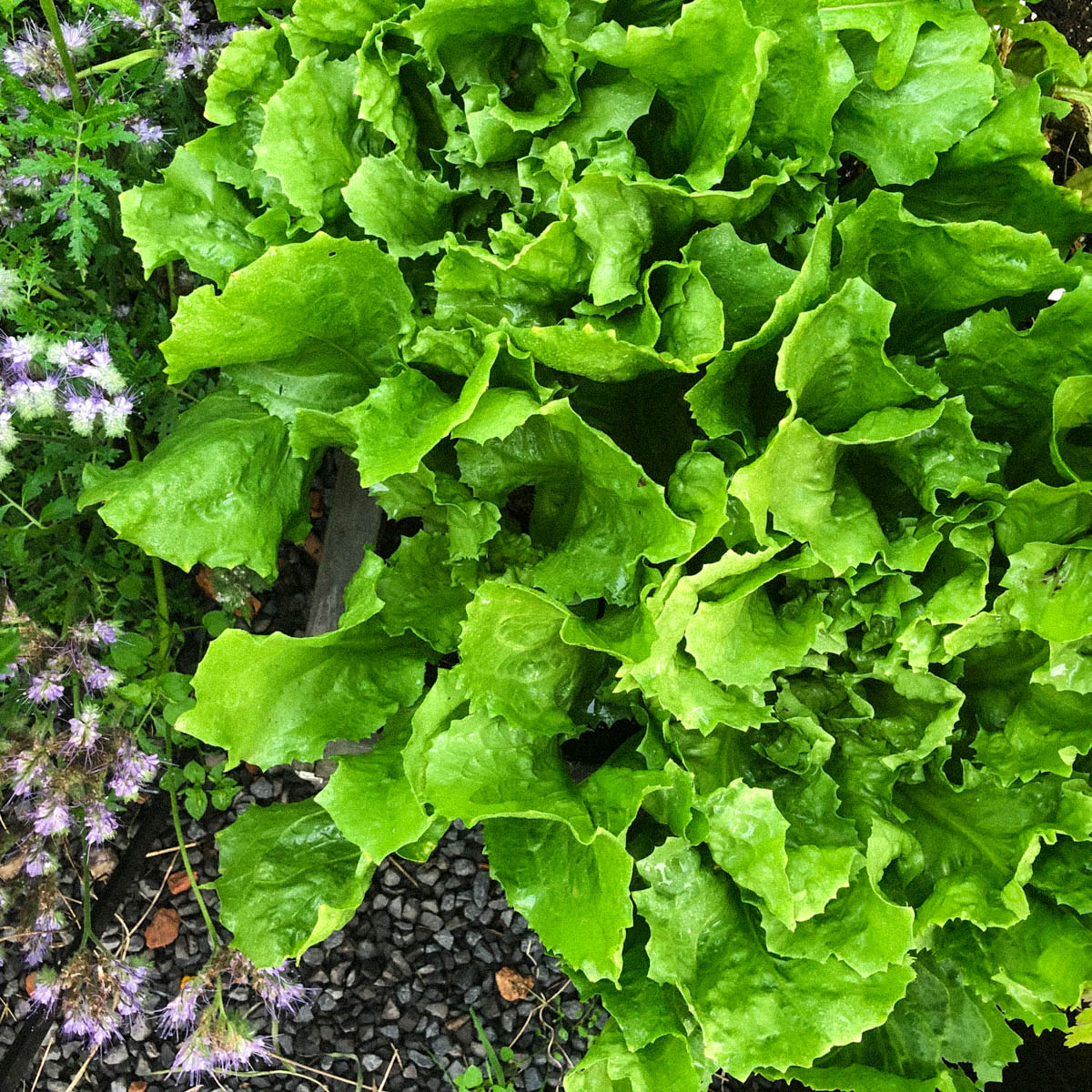 blog-july:-summer-in-the-veg-garden1.jpg