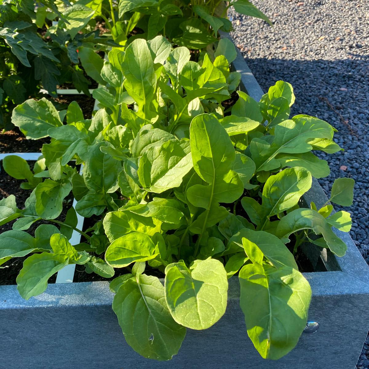 blog-july:-summer-in-the-veg-garden11.jpg