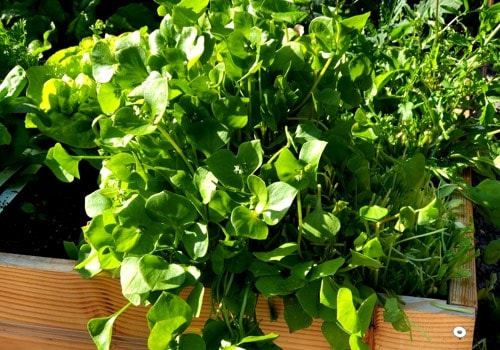 Winter purslane out-growing is patch