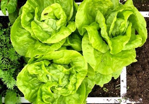 plant-food---refreshing-soil---lettuce2.jpg