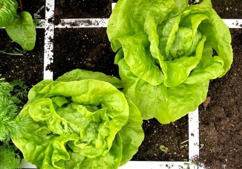 plant-food---refreshing-soil---lettuce.jpg