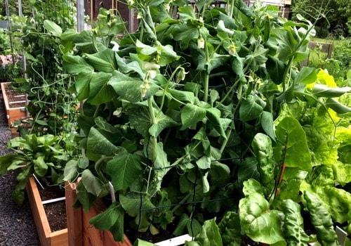 A mini-trellis for the winter peas