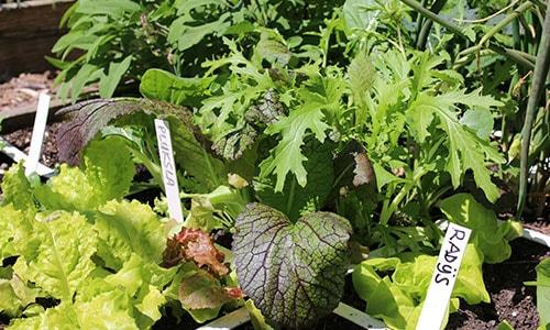 Asian Salad Mix: definitely ready to harvest