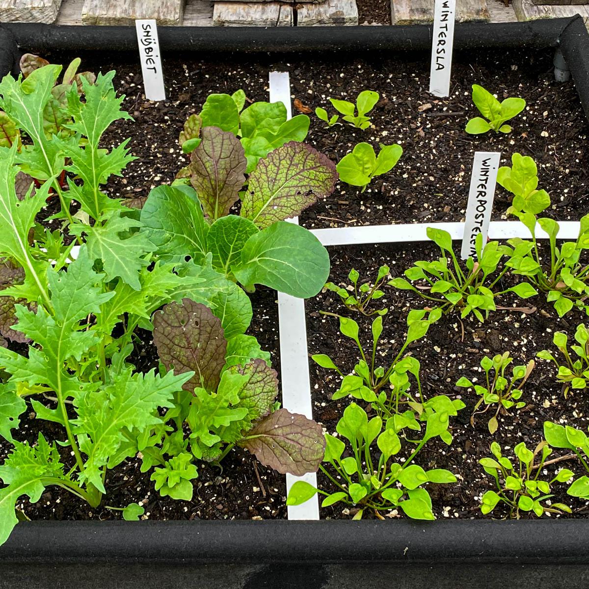 winter-resistant-vegetables.jpeg