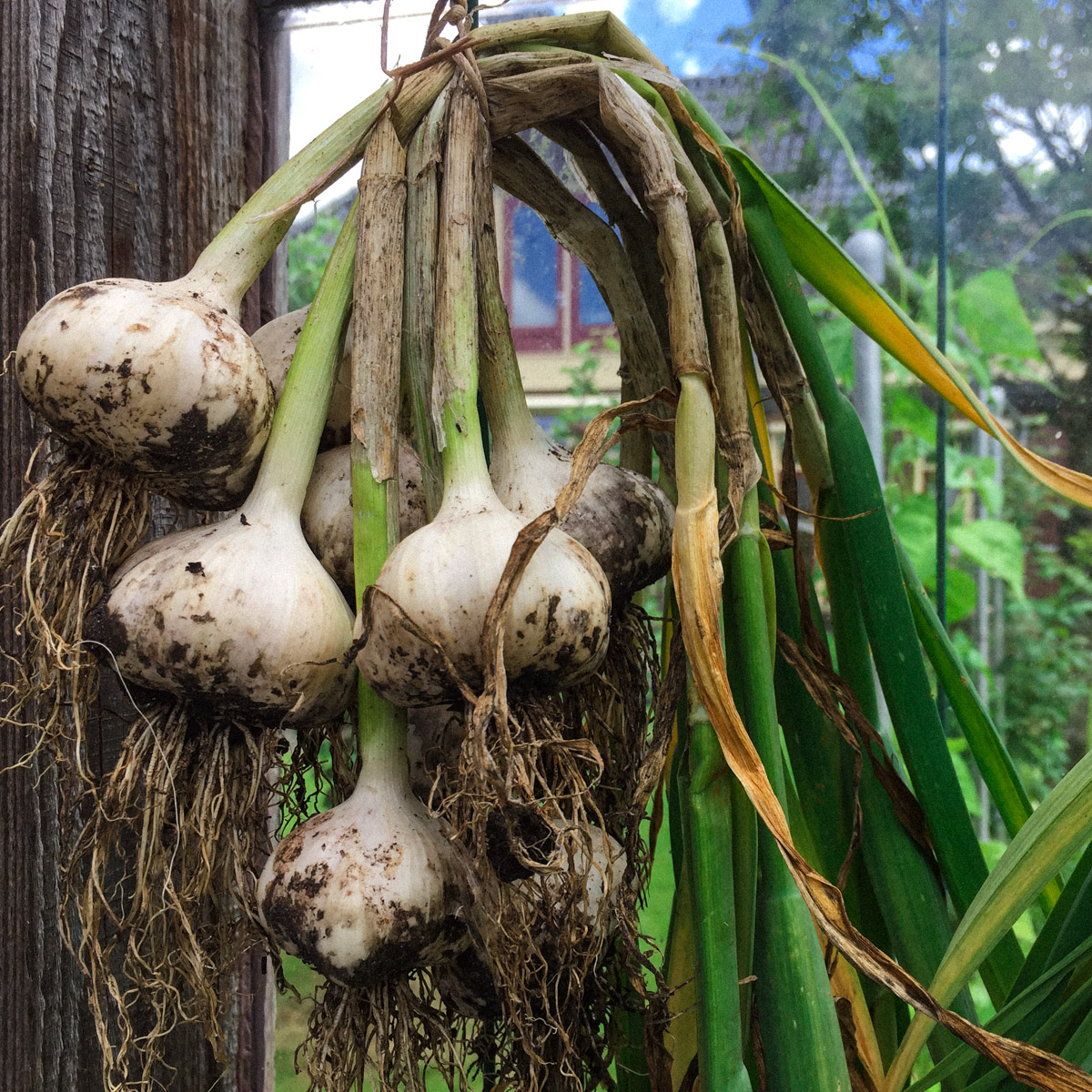 growing-garlic-in-your-vegetable-garden00007.jpg