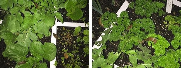 slugs getting into the vegetables at night