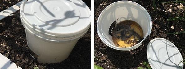 slugs in their beer trap drinking away